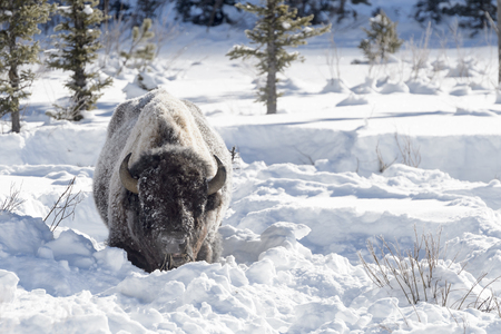 American Bison (Bison bison) adult, feeding in deep snow, Lamar Valley, Yellowstone national park, Montana, Wyoming, USA.