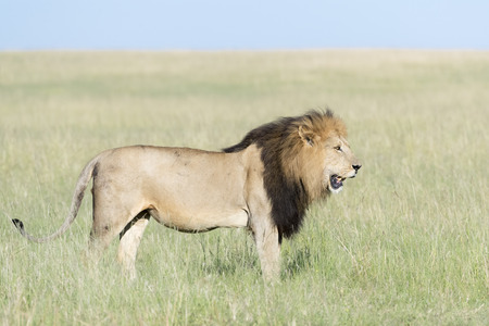 Male Lion (Panthera leo) in savanna, Masai Mara, Kenya.