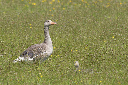 Greylag goose (Anser anser) standing between flowers with chick lying down hiding, Netherlands, Texel