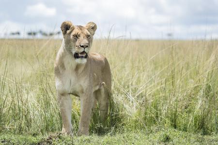 Lioness (Panthera leo) standing in savannah, Masai Mara, Kenya Stock Photo
