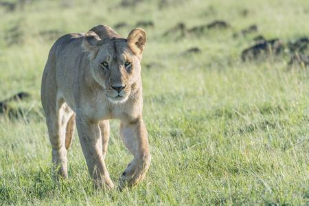 Lioness (Panthera leo) walking in savannah with backlight, Masai Mara, Kenya