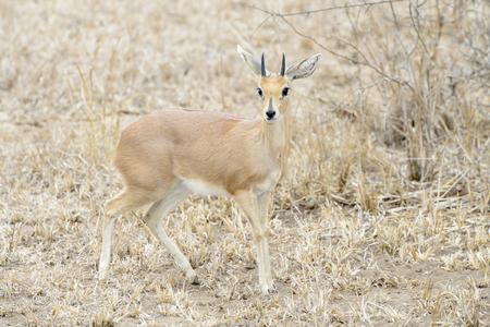 Steenbok (Raphicerus campestris), male stands in scrubland, Kruger National Park, South Africa1