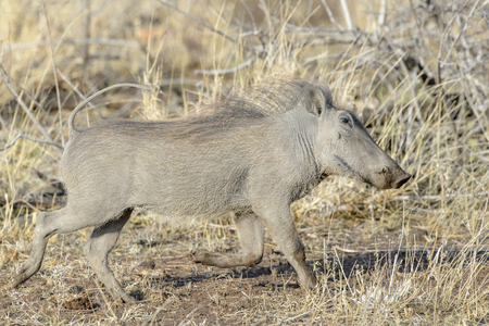Warthog (Phacochoerus aethiopicus), Kruger National Park, South Africa, Africa