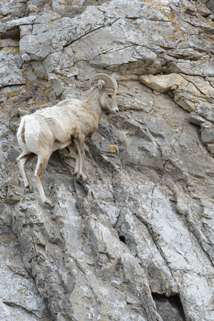 Bighorn Sheep (Ovis canadensis) male, ram, climbing on cliff, National Elk refuge, Jackson, Wyoming, USA.