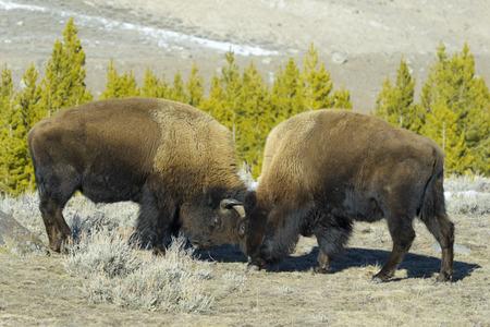 American Bison (Bison bison) fighting for dominance, Yellowstone National Park, Wyoming-Montana, USA
