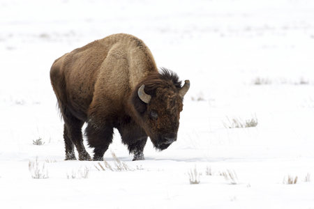 American Bison (Bison bison), Lamar Valley, Yellowstone National Park, Wyoming-Montana, USA