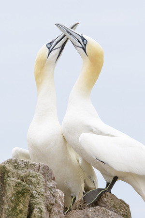 Northern Gannet (Morus bassanus) adult pair, displaying, standing on rock, Great Saltee, Saltee Islands, Ireland