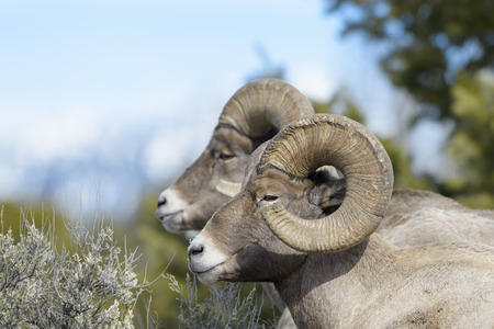 Bighorn Sheep (Ovis canadensis) male, ram, portrait, Yellowstone national park, Wyoming Montana, USA. 스톡 콘텐츠