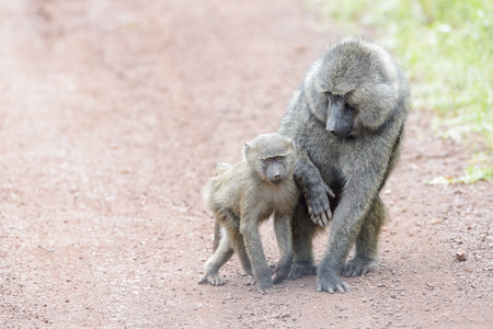 Olive baboon (Papio cynocephalus anubis) mother and child playing on the ground, Akagera National Park, Rwanda, Africa