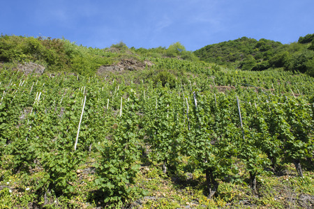 Vineyard uphill, along the Moessel river, Germany. 免版税图像