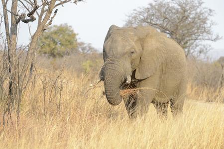 African Elephant (Loxodonta africana) feeding on grass, Kruger national park, South Africa.