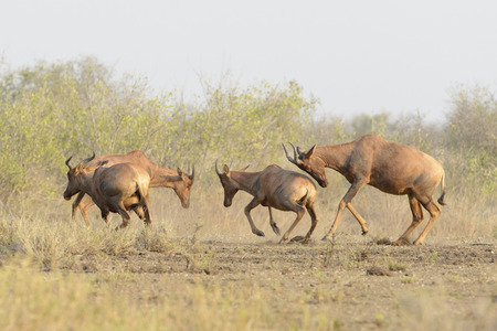 Topi, Tsessebe antelope (Damaliscus lunatus), male fighting, Kruger National Park, South Africa.