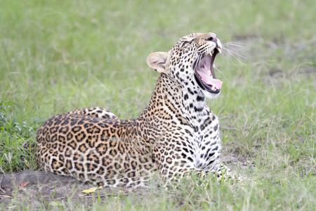 Leopard (Panthera pardus) lying down in grass, Masai Mara, Kenya.