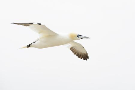 Northern Gannet (Morus bassanus) flying against white sky, Great Saltee, Saltee Islands, Ireland. Banco de Imagens