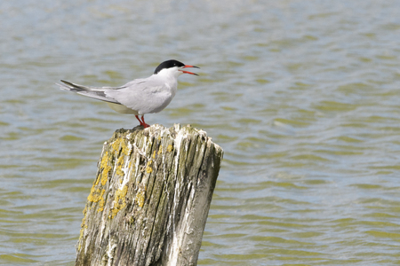 Common Tern (Sterna hirundo), standing and screaming on pole, Texel, North Holland, Netherlands