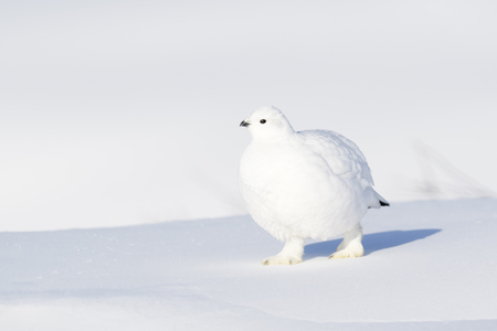 Willow Ptarmigan (Lagopus lagopus), walking on snow, Churchill, Manitoba, Canada