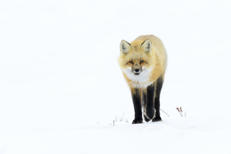 Red Fox (Vulpes vulpes) adult, standingin snow looking at camera, Churchill, Manitoba, Canada
