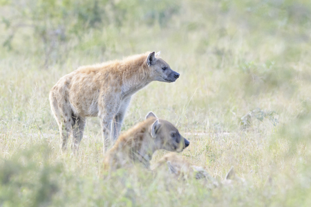 Spotted Hyaena (Crocuta crocuta), standing behind other hyenas, Kruger National Park, South Africa, Stok Fotoğraf