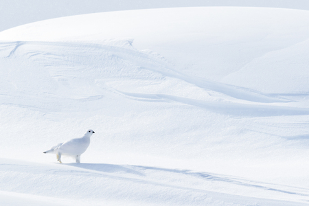 Willow Ptarmigan (Lagopus lagopus), walking on snow drifts, Churchill, Manitoba, Canada