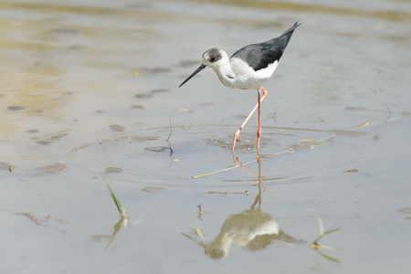 Black winged stilt (Himantopus himantopus) walking in water with reflection, Ranthambore national park, Rajasthan, India. Stok Fotoğraf