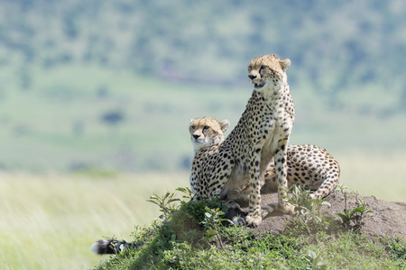 Two Cheetah (Acinonix jubatus) sitting on termite hill looking over savanna, Masai Mara, Kenya Banco de Imagens - 124838231