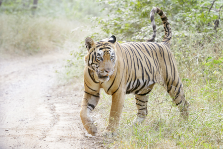 Bengal tiger (Panthera tigris tigris) walking in forest, Ranthambhore National Park, Rajasthan, India.