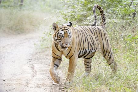 Tygrys bengalski (Panthera tigris tigris) spaceru w lesie, Park Narodowy Ranthambhore, Radżastan, Indie.