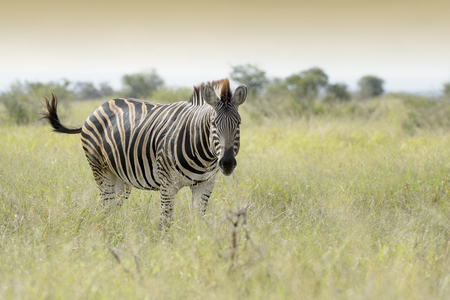 Burchell's zebra or Plains zebra (Equus quagga), standing on savanna, looking at camera, Kruger National Park, South Africa Reklamní fotografie