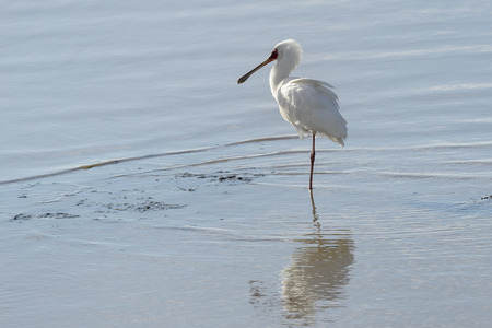 African spoonbill (Platalea alba) standing in water with reflection, Kruger National Park, South Africa.