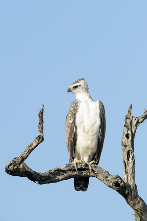 Martial eagle (Polemaetus bellicosus) perched in a tree with blue sky, Kruger National Park, South Africa.