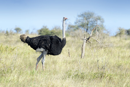 Common ostrich (Struthio camelus) walking on savanna, Kruger national park, South Africa. Imagens