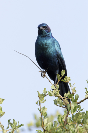 Burchell's Starling or Burchell's Glossy-starling (Lamprotornis australis) perched in tree, Kruger National Park, South Africa Reklamní fotografie