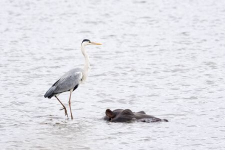 Grey heron (Ardea cinerea) hunting from hippopotamus or hippo (Hippopotamus amphibius), Kruger National Park, South Africa, Africa 스톡 콘텐츠