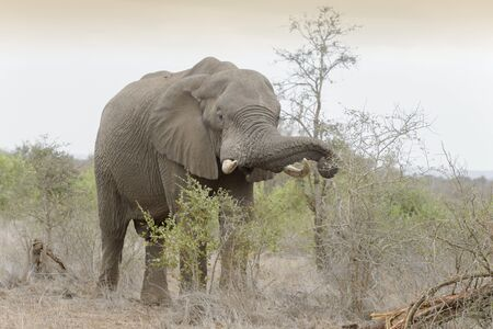 African Elephant (Loxodonta africana) eating from acacia, Kruger national park, South Africa.