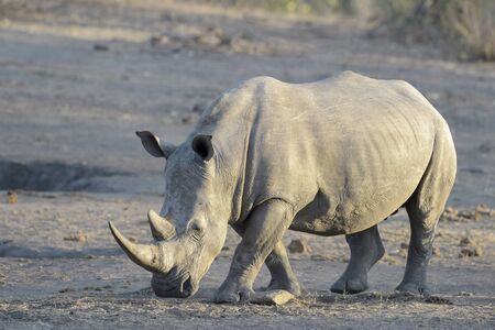 White rhinoceros (Ceratotherium simun), standing at whaterhole at sunset, Kruger National Park, South Africa 版權商用圖片