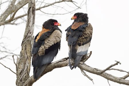 Bateleur Eagle (Terathopius ecaudatus) pair, Kruger National Park, South Africa 版權商用圖片