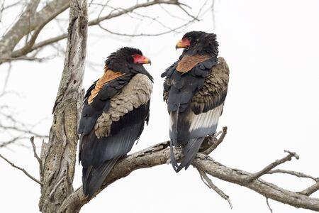Bateleur Eagle (Terathopius ecaudatus) pair, Kruger National Park, South Africa Stock fotó
