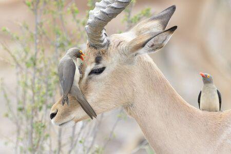 Picabueyes de pico rojo (Buphagus erythrorhyncus) alimentándose de impala (Aepyceros melampus), el Parque Nacional Kruger, Sudáfrica