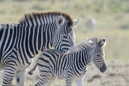 Plains zebra (Equus quagga) mother and foal on savanna, Kruger National Park, South Africa Stok Fotoğraf