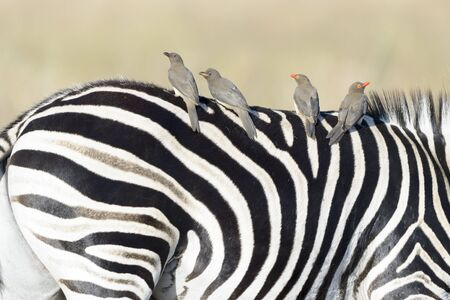 Red-billed oxpecker (Buphagus erythrorhyncus) on Plains zebra (Equus quagga), Kruger National Park, South Africa