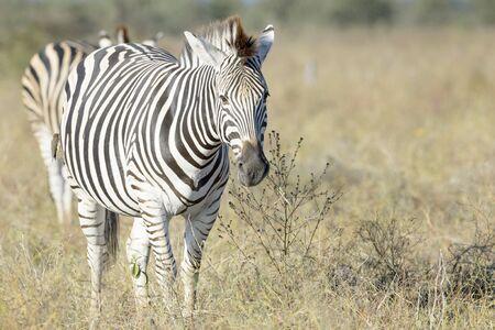 Burchell's zebra or Plains zebra (Equus quagga) walking on savanna, looking at camera, Kruger National Park, South Africa Reklamní fotografie