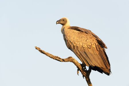 White-backed vulture (Gyps africanus) perched in dead tree, Kruger national park, South Africa.