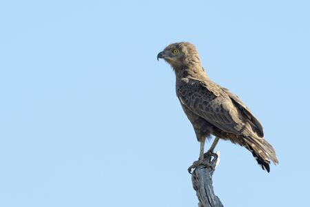 Brown snake-eagle (Circaetus cinereus) perched in treetop with blue sky,Kruger national park, South Africa.