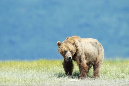 Grizzly Bear (Ursus arctos horribilis) standing in grass, Katmai national park, USA.