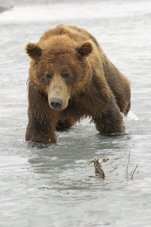 Grizzlybär (Ursus Arctos Horribilis) Angeln auf Lachs im Fluss, Katmai Nationalpark, USA.