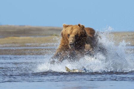 Grizzly Bear (Ursus arctos horribilis) diving and fishing for salmon along shoreline, Katmai national park, USA. Stock fotó