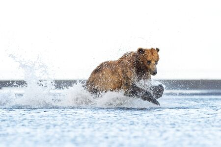 Grizzly Bear (Ursus arctos horribilis) fishing for salmon along shoreline, Katmai national park, USA. Banco de Imagens