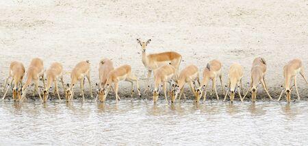 Impala (Aepyceros melampus) herd drinking at waterhole, Kruger National Park, South Africa