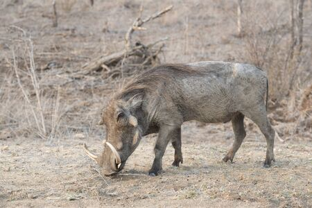 Warthog (Phacochoerus aethiopicus) foraging, Kruger National Park, South Africa