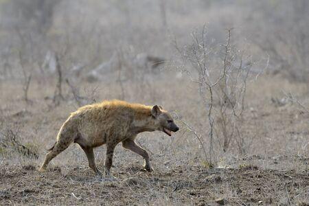 Spotted Hyena (Crocuta crocuta) walking on savannah, Kruger National Park, South Africa.